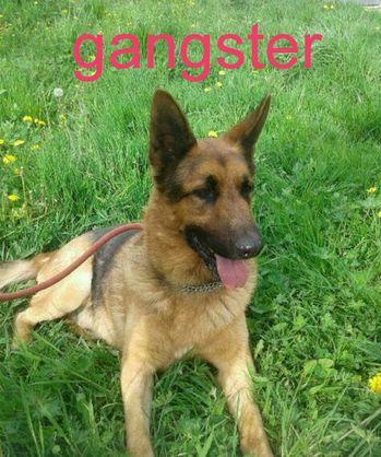 GANGSTER - berger allemand 9 ans - 3 ans de refuge  (vivait dans une cave)  Le Refuge Nos Amies les Betes à Saint Dizier (52) 52958303_2172568716099160_6682688603966930944_n