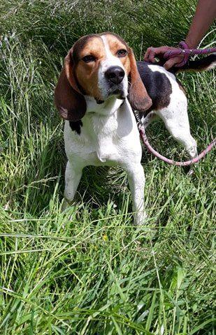 MARIO - beagle 3 ans - Refuge Nos Amis les Betes à Saint Dizier (52) 100714500_2605654143097223_3495366534354698240_n